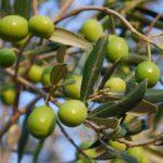 41 Zeytin Çekirdeği ile Aşk Büyüsü Nedir?